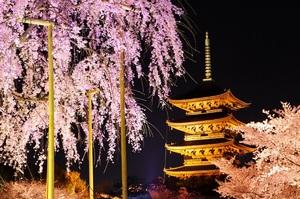 東寺 桜 夜景.jpg
